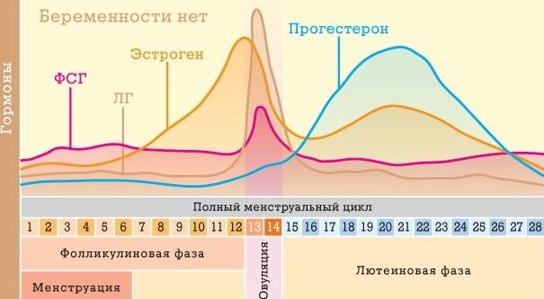 Менструальный цикл женщины