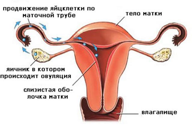 Овуляция у женщины