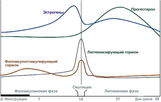 Эстроген и прогестерон в женском организме