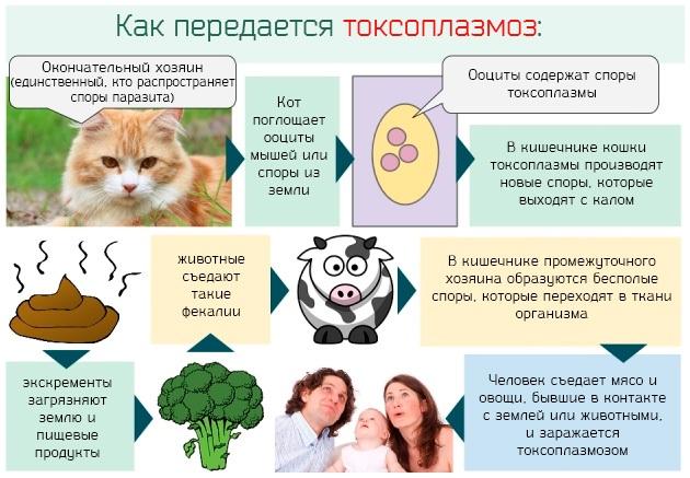 Как передается токсоплазмоз