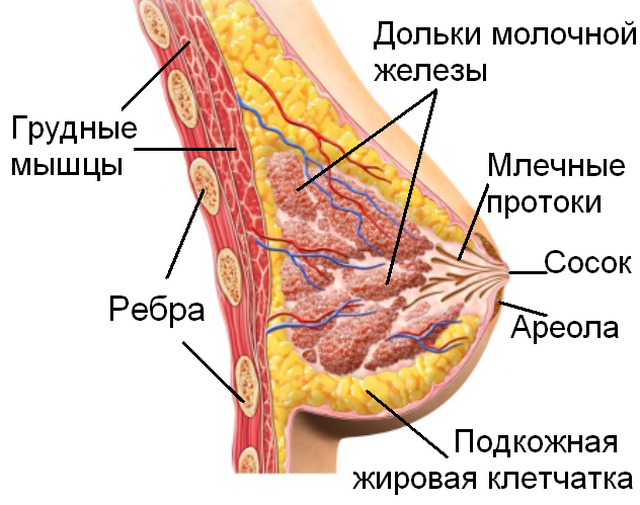 Молочная железа женщины