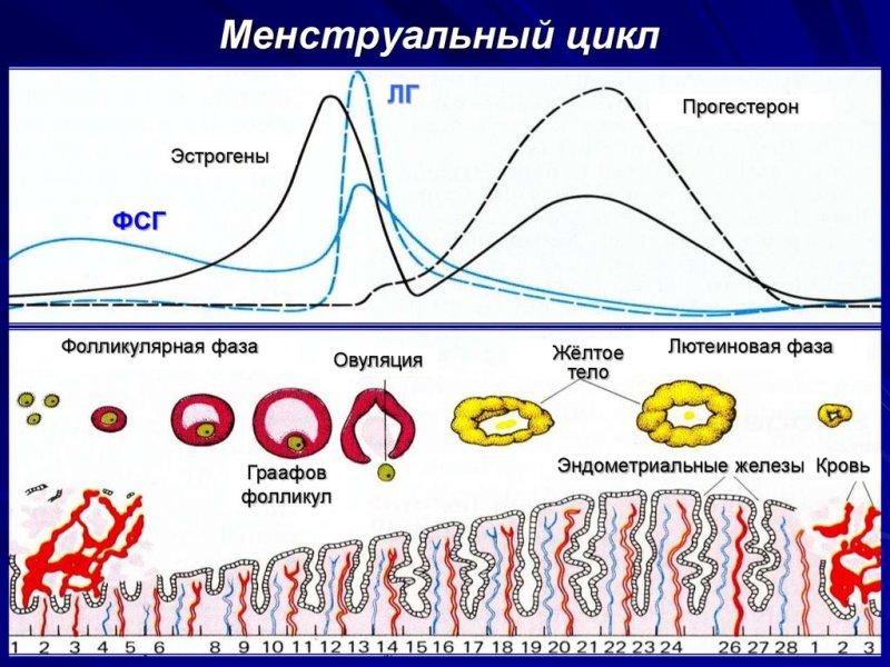 Менструальный цикл в норме